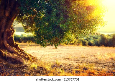 Olive trees. Plantation of olive trees at sunset. Mediterranean olive field with old olive tree. Vegetable produce industry. Seasonal nature