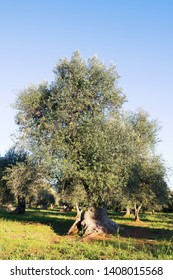Olive trees in Salento, Puglia Region, South Italy. Traditional plantation of olive trees in summer sunny day, natural light, copy space, beautiful apulian background