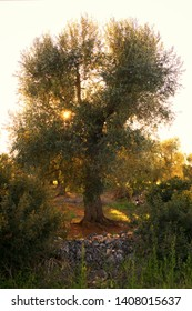 Olive trees in Salento, Puglia Region, South Italy. Traditional plantation of olive trees in summer sunset, natural light, copy space, beautiful apulian background