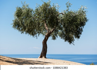 Olive trees and sea
