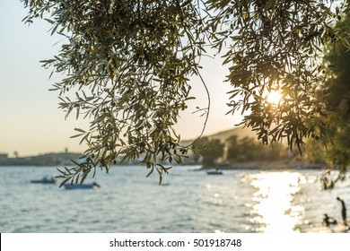 Olive trees, sea and sunset.