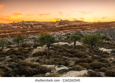 Olive trees in Shepherd's Field near Bethlehem