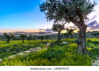 Olive trees in Shepherds Field at sunset, with Bethlehem in the foreground