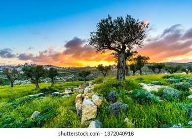 Olive trees in Shepherds Field with view of Bethlehem at sunset