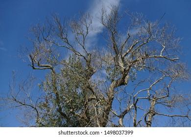 Olive trees sick of xylella in Salento, south Apulia, Italy