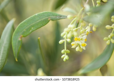 olive trees starting to flower natural macro background