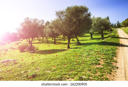 Olive trees in sunny morning