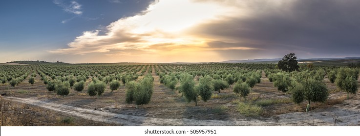 Olive trees at sunset. Sun rays