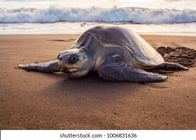 Olive turtle (Pacific coast of Guanacaste) on the Ostional beach during the ocean sunset,