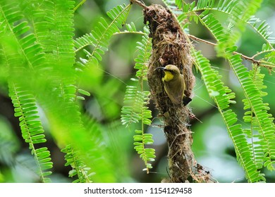 The olive-backed sunbird (Cinnyris jugularis), also known as the yellow-bellied sunbird, is a species of sunbird found from Southern Asia to Australia.She flies to make her nest.