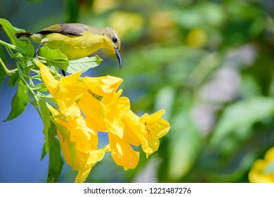 The olive-backed sunbird (Cinnyris jugularis), also known as the yellow-bellied sunbird, female yellow-bellied sunbird perching on yellow flower branch.