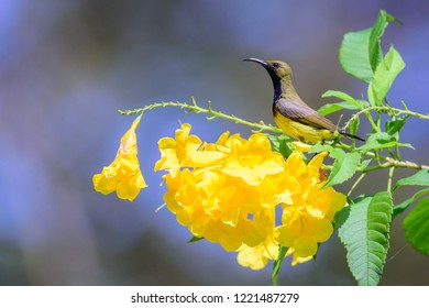 The olive-backed sunbird (Cinnyris jugularis), also known as the yellow-bellied sunbird, male yellow-bellied sunbird perching on yellow flower branch.