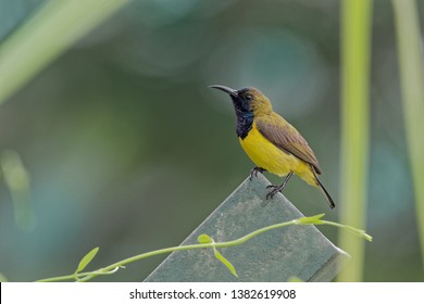 The olive-backed sunbird (Cinnyris jugularis), also known as the yellow-bellied sunbird, is a southern Far Eastern species of sunbird.