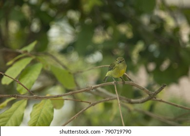 Olive-backed sunbird (Cinnyris jugularis) on Branch of Tree