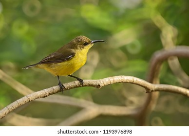 Olive-backed Sunbird - Cinnyris jugularis, small yellow and black sunbird from Southeast Asian gardens and woodlands.