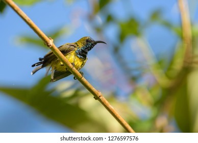 Olive-backed Sunbird - Cinnyris jugularis, small yellow and black sunbird from Southeast Asian gardens and woodlands, Bali, Indonesia.