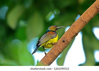 Olive-backed Sunbird on branch