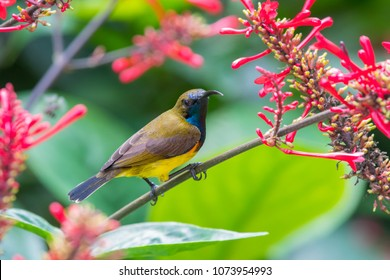 Olive-backed sunbird with red flower in close up shot with stunning detail they drink sweet water from the flower