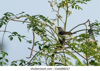 Olive-backed sunbird wandering in the fields of Kabini wildlife sanctuary, Karnataka , India
