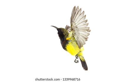 Olive-backed sunbird who are spreading their wings Yellow-bellied sunbird; isolate on White Background