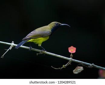 Olive-backed sunbird, Yellow-bellied sunbird. Bird and flower on black background.