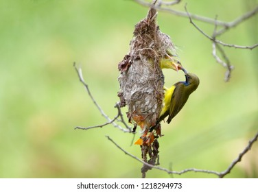 Olive-backed Sunbird or Yellow-bellied Sunbird, (Cinnyris jugularis)