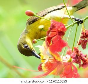 Olive-backed sunbird, Yellow-bellied sunbird, Cinnyris jugularis,female bird drinking nectar from flowers in the morning . Sunbird feeding nectar from flower.