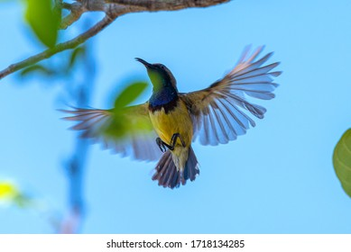 Olive-backed sunbird, Yellow-bellied sunbird flying on bright sky