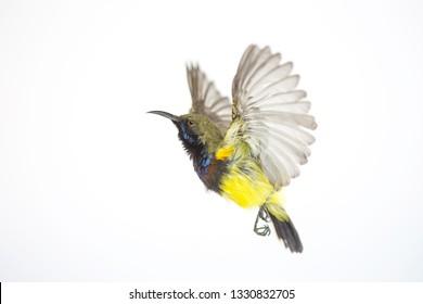 Olive-backed sunbird, Yellow-bellied sunbird; isolate on White Background