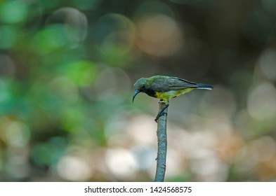 Olive-backed Sunbird or Yellow-bellied sunbird on branch in nature