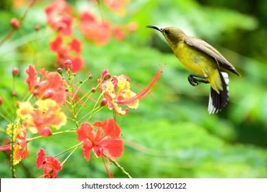 Olive-backed sunbird, Yellow-bellied sunbird,Cinnyris jugularis,Nectariniidae, female jumping flower to another flower.