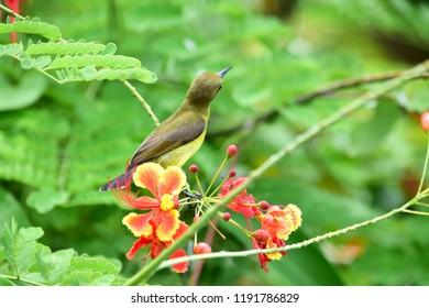 Olive-backed sunbird, Yellow-bellied sunbird,Nectariniidae,Cinnyris jugularis, female bird looking for flowers.