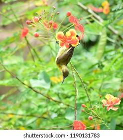 Olive-backed sunbird, Yellow-bellied,Cinnyris jugularis,Nectariniidae, female bird hanging upside down from flowers after drinking nectar. Playful Sunbird hanging upside down.