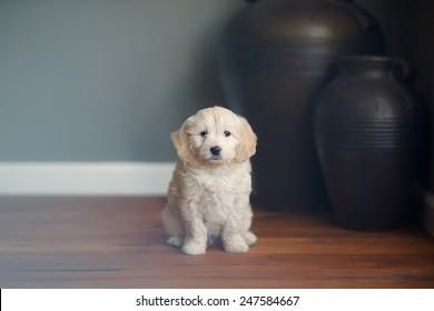 Oliver the Goldendoodle