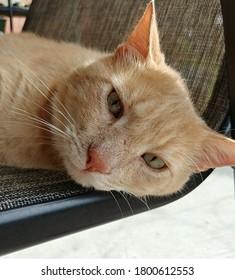 Oliver the Orange Tabby Cat