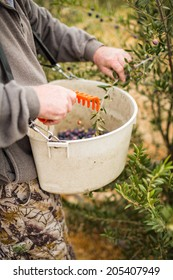 Olives being scraped and pulled off of a olive branch and put into a plastic waist worn container during a harvest in Paso Robles, California