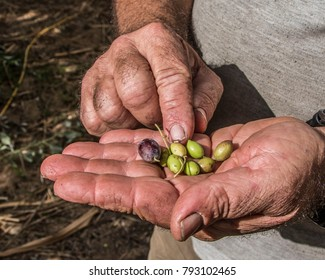 Olives displayed in farmer's hand.