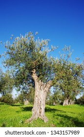 Olives in the fields of Alentejo region, Portugal