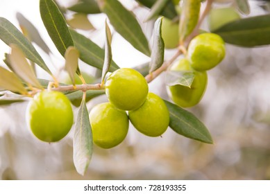 Olives growing on an olive tree branch