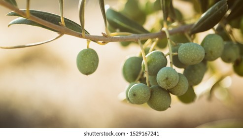Olives growing on a tree in Southern Spain. Olive oil farming in the countryside.