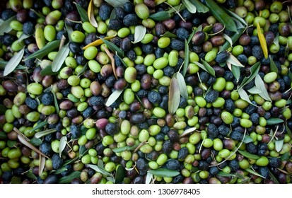 olives, hand picking from plants during harvesting, green, black, to obtain extra virgin oil, food, antioxidants, Taggiasca, autumn, light, background, Riviera, Liguria, Italy
