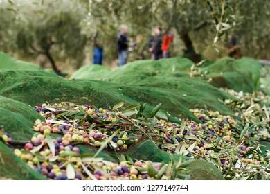 Olives harvested over a net during harvesting season to make olive oil, Priorat, Tarragona, Catalonia, Spain.