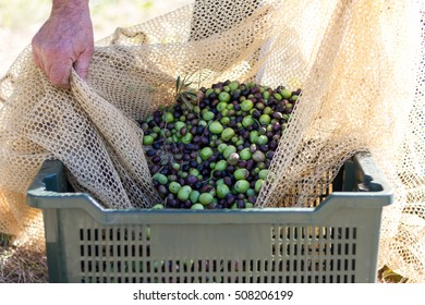 Olives harvesting. Farmer spilling olives into a cassette.