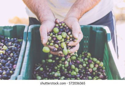 Olives harvesting. Farmer's hands holding some fresh harvested olives. Vintage toned image.