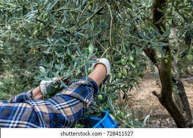 Olives harvesting in a field in Chalkidiki,  Greece