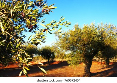 olives on branch and olives tree