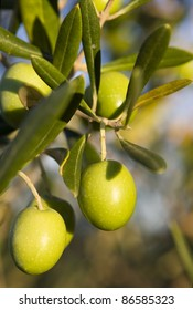 Olives on a branch tree