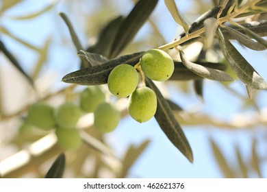 Olives on olive tree.