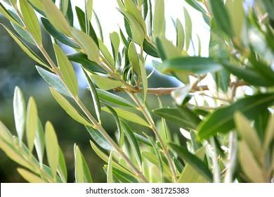 Olives on olive tree branch. Olive tree