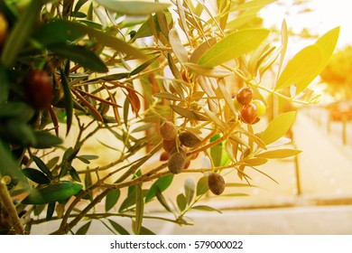 Olives on olive tree branch. Olive tree in the background of greek island Crete panorama . Image with sunkissed vintage effect, toned